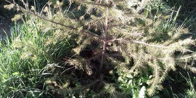 Почему желтеет и опадает хвоя у елки?