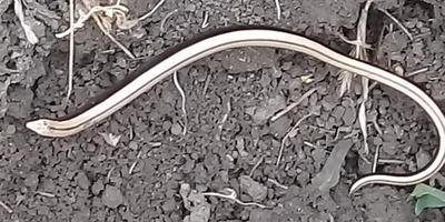 Опасна ли эта змея?