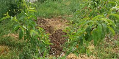 Помогите определить, что с персиком и как его вылечить