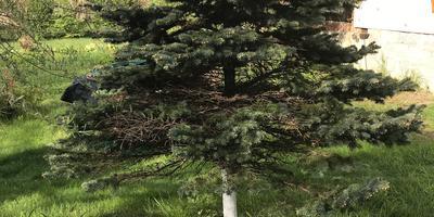У голубой ели сохнут ветки и осыпается вся хвоя, на ветках образовался какой-то грибок. В чем причина?