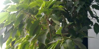 Что за дерево растет у меня дома?