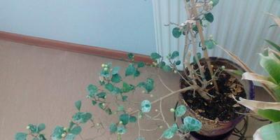 Помогите определить растение!