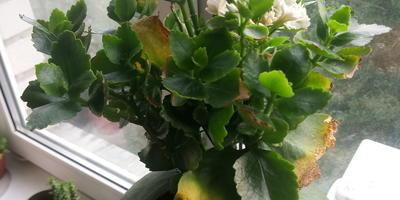 Почему сохнут листья у каланхоэ?