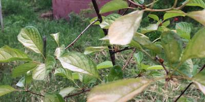У посаженной вишни желтеют листочки. Что с саженцем?
