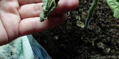 На томатах сохнут листья, ствол внизу истончился. Что делать?