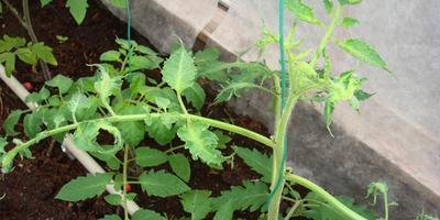 Почему молодые листья томата такой странной формы?