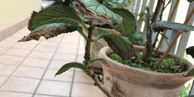 Проблемы с листьями: как спасти гортензии?