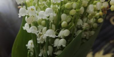 Подскажите, что за цветы?