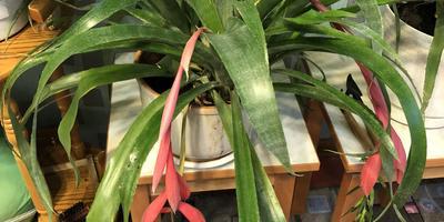 Подскажите, пожалуйста, название цветка и как за ним ухаживать в домашних условиях?