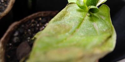 Почему желтеют и сохнут листочки циннии?