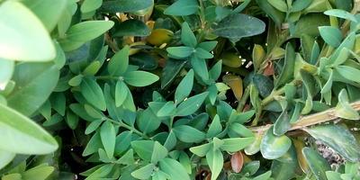 Желтеют листья самшита. Что делать?