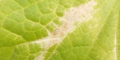 Помогите определить, чем заболели огурцы после высадки в теплицу?