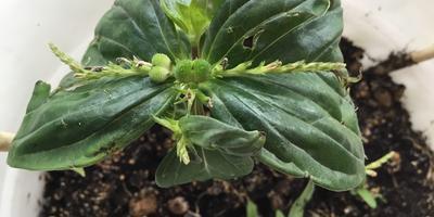 Как называется это растение и не ядовито ли оно? А то кот поел листья(((