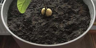 Помогите спасти авокадо