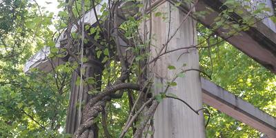 Подскажите, пожалуйста, название этой древовидной лианы