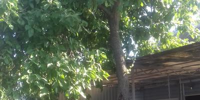 Если спилить ветки, которые ложатся на крышу, у старой яблони или пополам дерево, будет ли оно плодоносить?