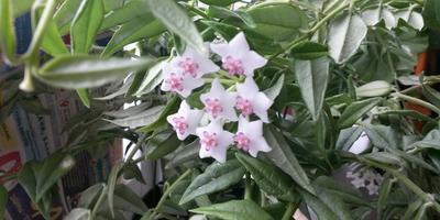 Как называется комнатный цветок?