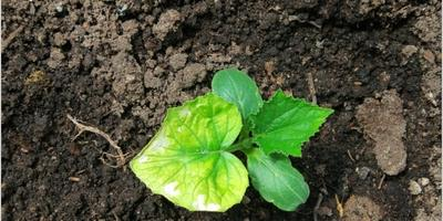Третий год не растут огурцы в теплице. В чем может быть причина?