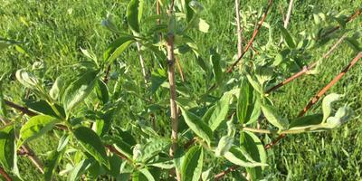 Почему скручиваются листья у чубушника?