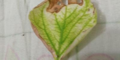 Помогите определить болезнь абрикосового дерева