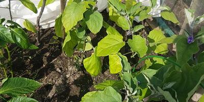 У баклажанов вся старая листва, которая была при высадке, приобрела желтоватый оттенок. В чем причина?