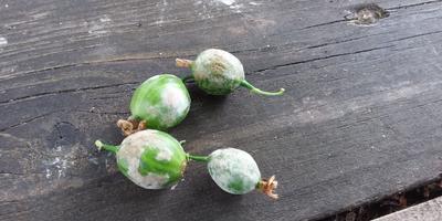 Ягоды крыжовника покрылись каким-то налетом. Что это и как вылечить растения?