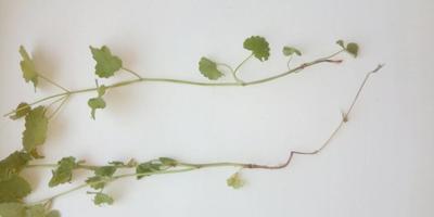 Что за растение?