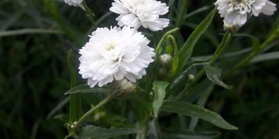 Что это за цветы?