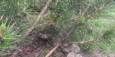 Почему желтеет хвоя у горных сосен? Что можно предпринять?