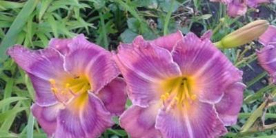 Помогите определиться, что лучше высадить в саду - лилейники или ирисы?