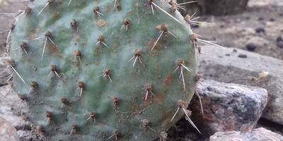 Ржавые пятна на уличном кактусе. Что это и как лечить?