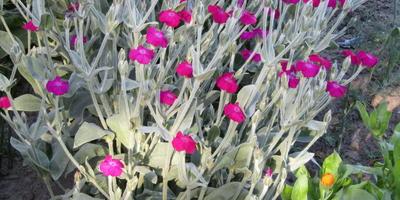 Подскажите, как называются эти цветы?