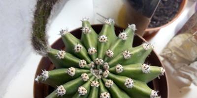 Что это за кактус?
