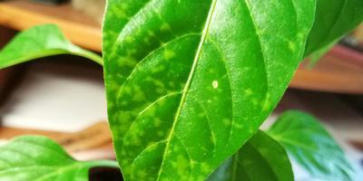 Стебель домашнего перца покраснел, на листьях появились светлые пятна. Что произошло?