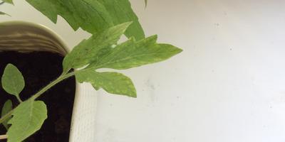 На листьях томата появились белые пятна и прозрачные проплешины. Что делать?