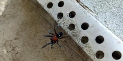 Опасен ли этот паук?