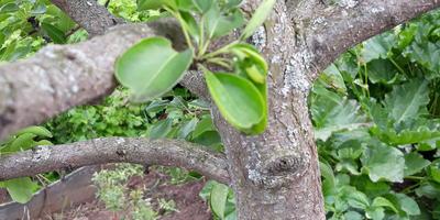 Помогите спасти яблоньку. В этом году все почки засохли, засыхают ветви