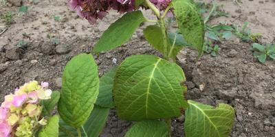 Чернеют листья у гортензии. Помогите спасти