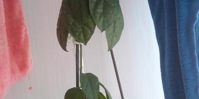 Что это за комнатное растение?
