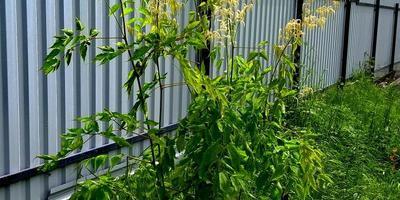 Что за растение растёт у моих родителей на даче?
