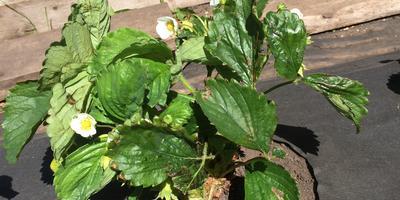 Листья клубники сохнут, на обратной стороне коричневая замазка. Как это лечить?