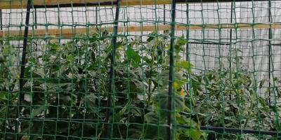 """Теплица-трансформер: делаем необычный """"домик"""" для томатов"""