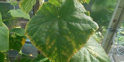 Почему листья огурцов покрываются желтыми пятнами?