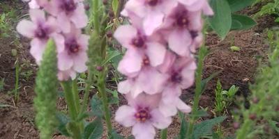 Подскажите, что за цветок растёт в саду?