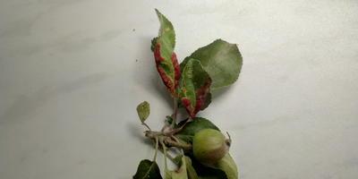 Чем болеет яблоня и как её лечить?