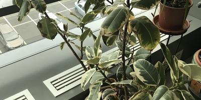 Как называется это растение и как за ним ухаживать?