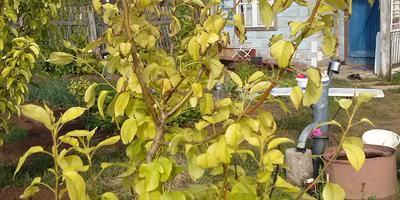Чем болеет груша и как её лечить?