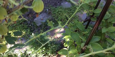 Кто ест листья у крыжовника и смородины?