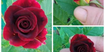 Помогите определить сорт плетистой розы!