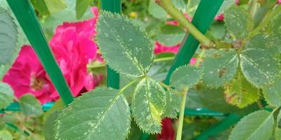 Как вылечить розы?